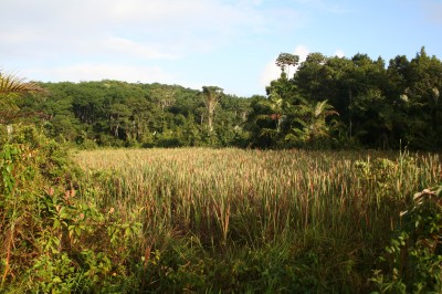 Wetlands are common throughout the rubber groves.