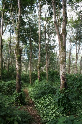 Abandoned rubber groves occupy 600 ha of the reserve.