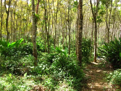 Abandoned rubber groves enriched with native tree species characterize the areas between the forests.